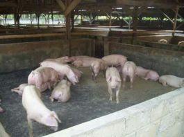 Ternak Babi Tandam Hilir, Ratusan Warga Ancam Demo Besar-Besaran