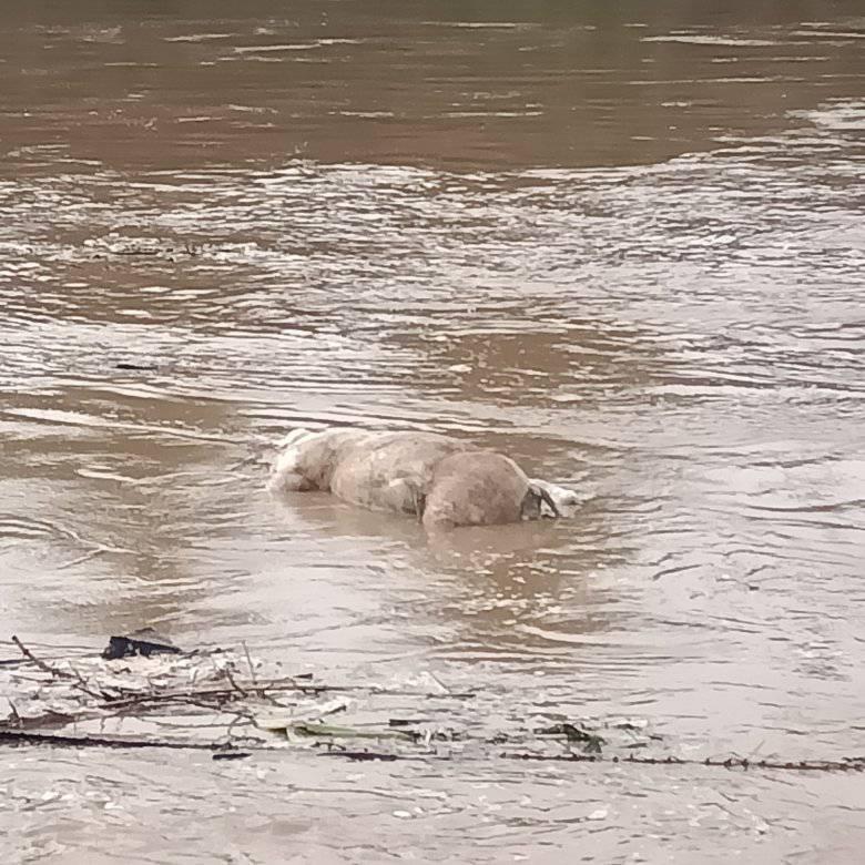 Bangkai Babi Sungai Wampu, Anggota DPRD: Usut Tuntas Pelaku