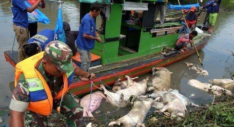 Cemari Sungai, IMKM Pinta Kepolisian Tindak Tegas Pembuang Bangkai Babi