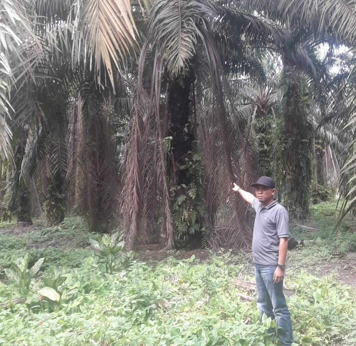 Kebun Aek Nabara Utara PTPN III, Diduga Sarat Permainan dan Semak