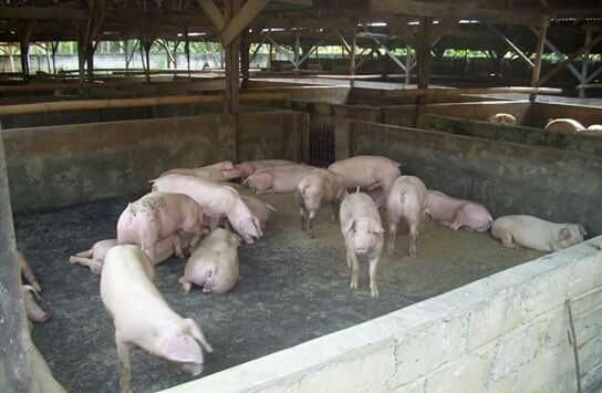 Tutup ternak Babi di Tandam, Aparat Harus Tuntaskan