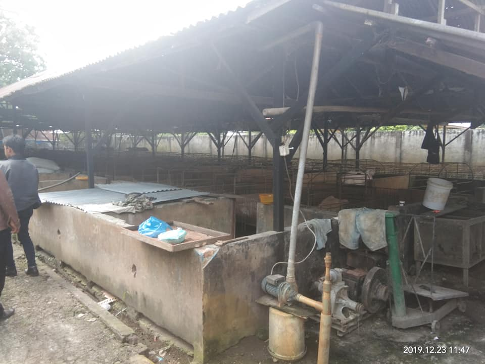 Ternak Babi Tandam Hilir, Diduga Terjangkit Virus Kolera