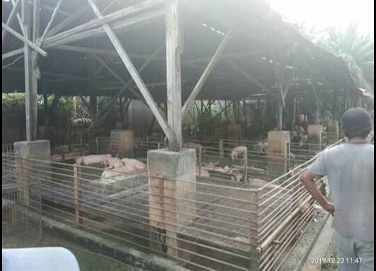 Ternak Babi Tandam Hilir, Penertiban Dihadang Oknum Preman
