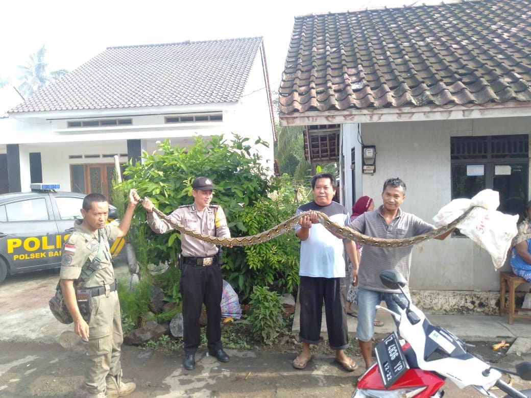 Bhabinkamtibmas Polsek Banjar, Berhasil Menangkap Ular Sepanjang 3 Meter