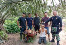 Team Keamanan PTPN III Kebun Dusun Hulu, Tangkap Pelaku Pecurian TBS Kelapa Sawit